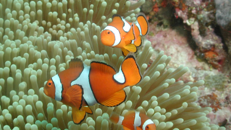 Find Nemo on the Great Barrier Reef in Austalia
