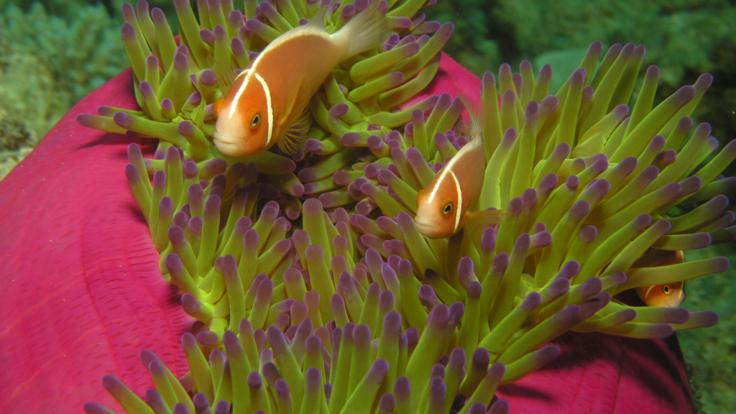 Anemone fish in the coral gardens on the Great Barrier Reef