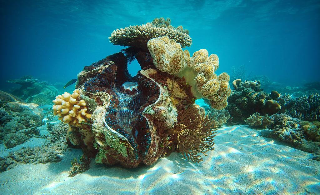 Giant clam shell, Great Barrier Reef Australia
