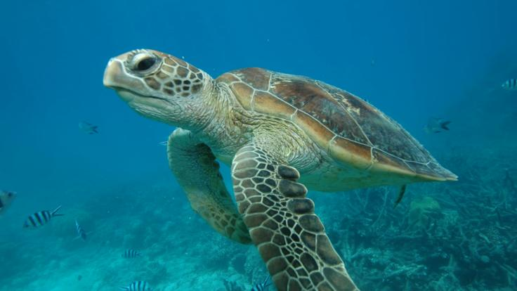 Sea turtle on the Great Barrier Reef in Australia