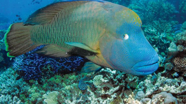 Wally the Maori Wrasse on the Great Barrier Reef in Cairns Australia