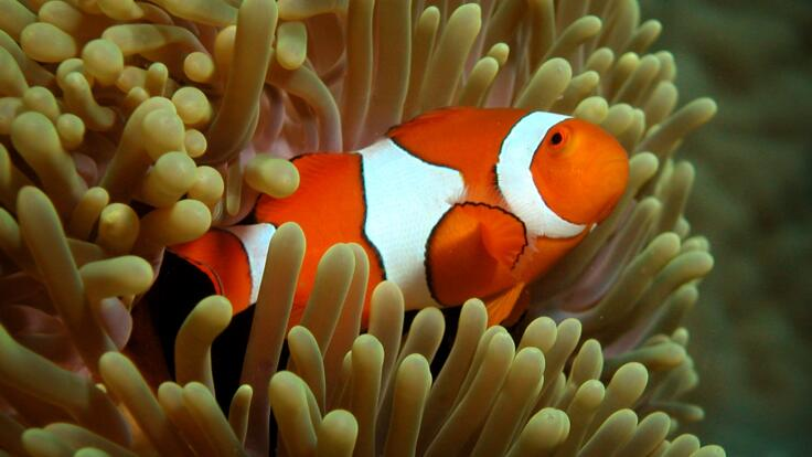 Nemo (clownfish) on the Great Barrier Reef in Australia