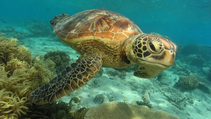 Sea Turtle swimming on the Great Barrier Reef in Cairns Australia