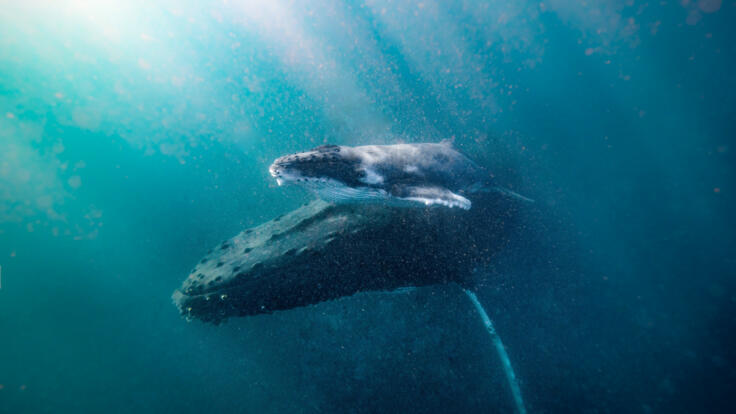 Superyacht Holidays Great Barrier Reef - Humpback Whales - TEQ