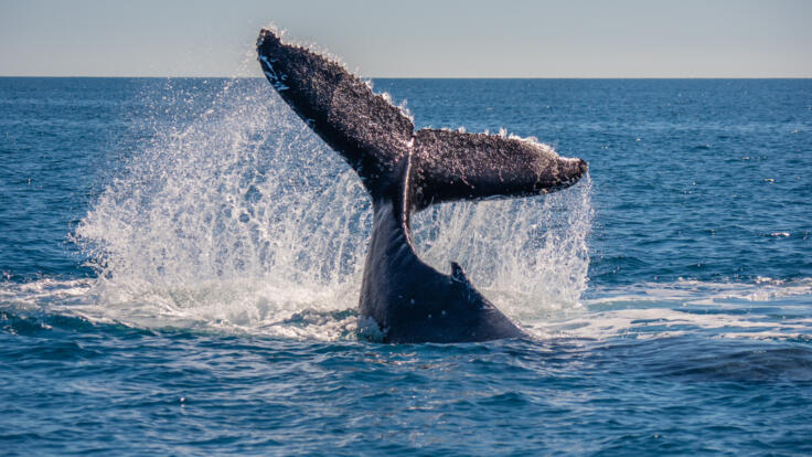 Yacht Charters Port Douglas - Great Barrier Reef - Humpback Whales -TEQ
