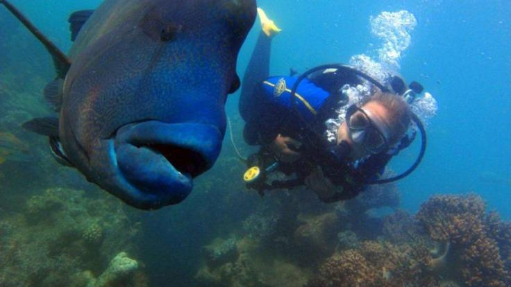 Meet George the Maori Wrasse in the Whitsunday Islands whilst scuba diving on the Great Barrier Reef
