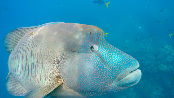 Friendly locals in the Whitsundays Islands - George the Humphead Maori Wrasse