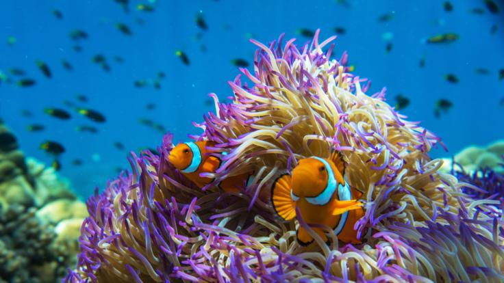 Pristine Great Barrier Reef Marine Life - Purple Anemone & Nemo