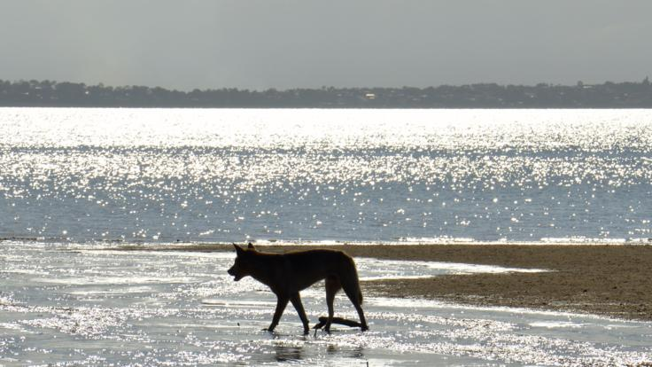 Spot dingoes on your Fraser Island adventure