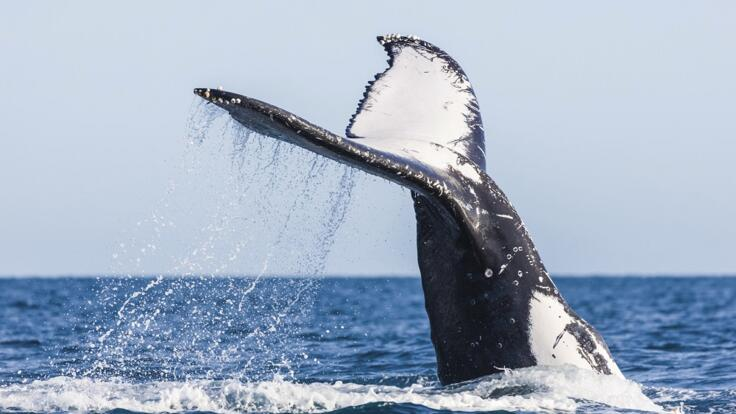 Humpback Whale Tours - Townsville - Whale Tail
