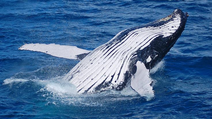 Whale breaching in waters on the Great Barrier Reef