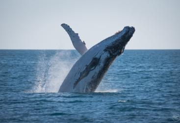 Hervey Bay Whale Watching Half Day Tour - Whale breaching
