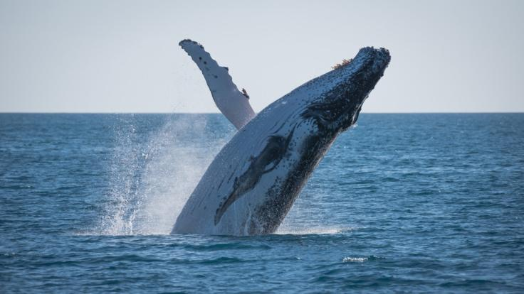 Townsville Whale Watching Half Day Tour - Whale breaching