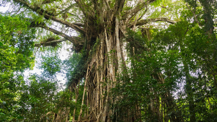Amazing North Queensland Cathedral Fig Tree | Exclusive Tour Departs Cairns & Northern Beaches
