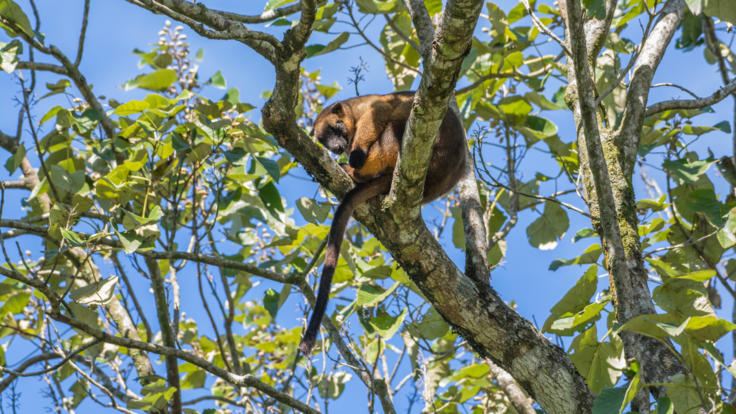 Tree Kangaroo Spotted at Yungaburra | Private Tour