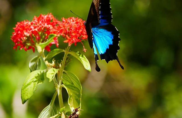 Ulysses Butterfly | Spot local wildlife on your Rainforest ATV or Buggy Tour