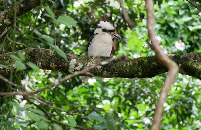 Kookaburra | Spot local wildlife on your Rainforest ATV or Buggy tour in Kuranda