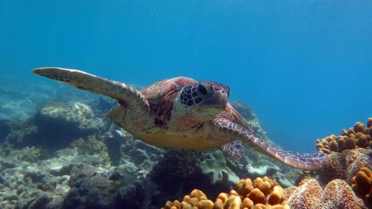Sea Turtle swimming on the Great Barrier Reef Australia