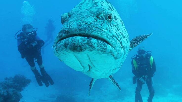 Dive  with Giant fish on the Great Barrier Reef
