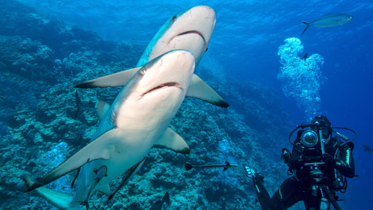 Shark Diving Great Barrier Reef