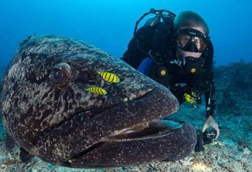 Scuba diving with man sized Potato Cod on the Great Barrier Reef