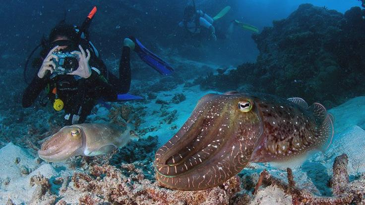 Octopus on the Great Barrier Reef