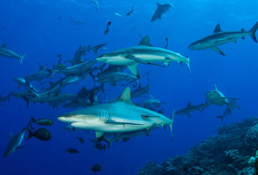 Scuba Diving with Sharks on the Great Barrier Reef