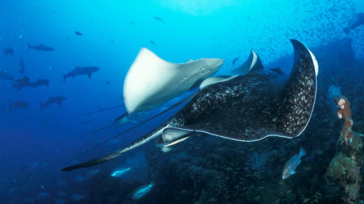 See Mantarays gliding thru the waters on the Great Barrier Reef