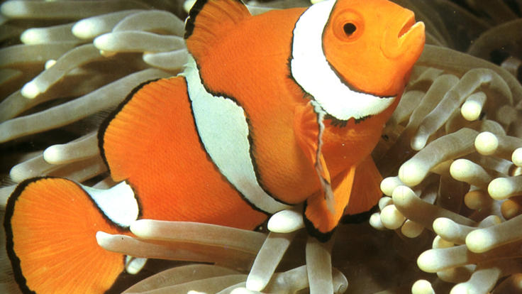 Explore Australia's Great Barrier Reef | Nemo Fish