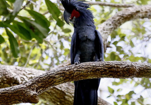 See Red Tailed Black Cockatoos on your 4WD Cape York Safari