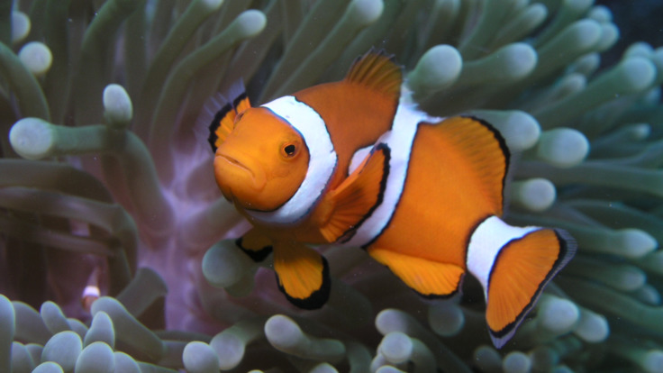Spot Nemo on the Great Barrier Reef