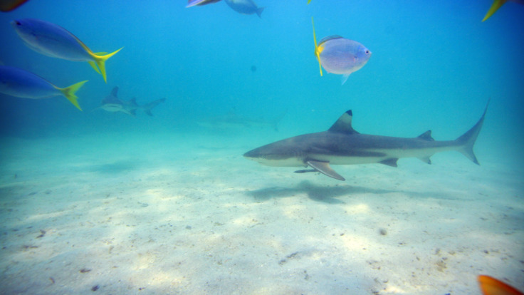 Swim with friendly reef sharks, Great Barrier Reef