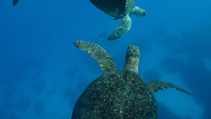 Lady Elliot Island Tours - Swim With Hitch Hiking Turtles