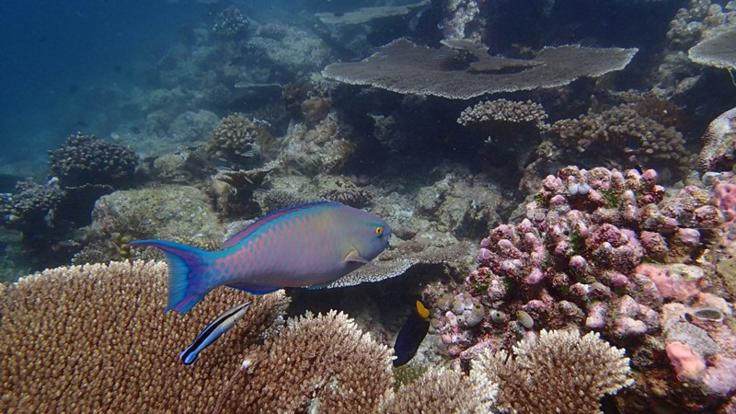 Parrot fish and plate corals on the Great Barrier Reef Cairns