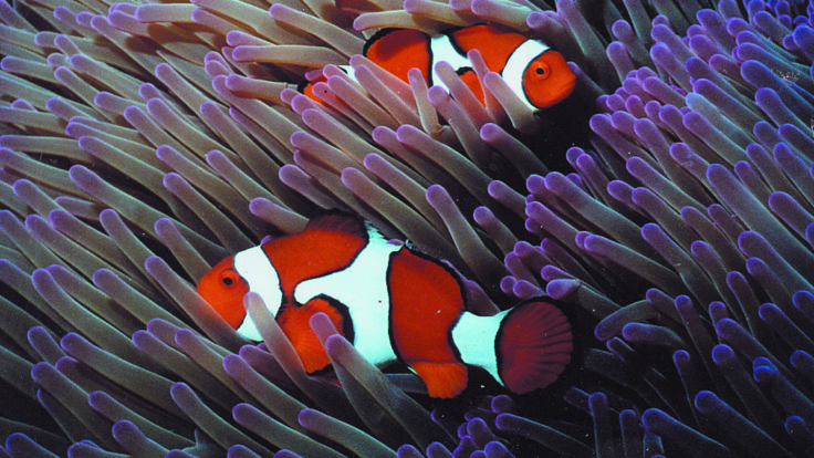 Clown Fish and sea anemone on the Great Barrier Reef