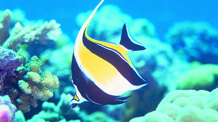 Moorish Idol fish on the Great Barrier Reef