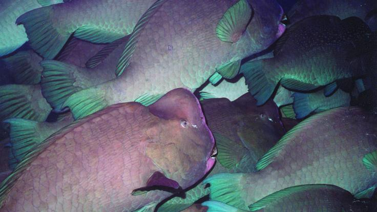 Humphead Moari Wrasse schooling on the Great Barrier Reef in Cairns