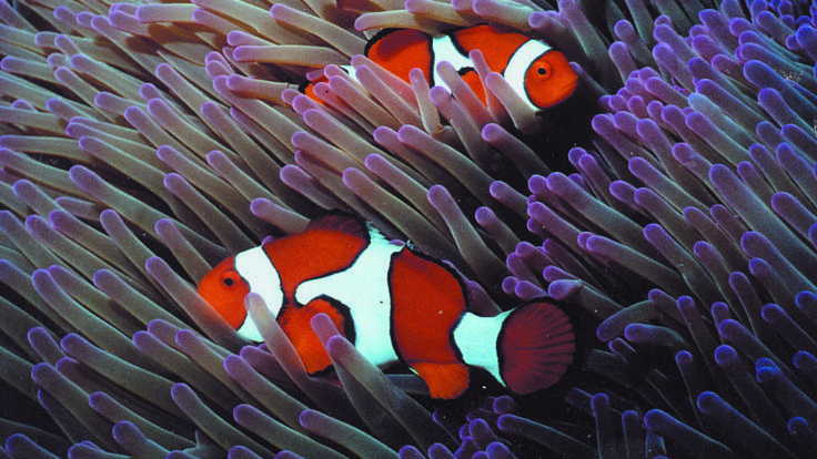 Nemo Clownfish with anemone on the Great Barrier Reef in Australia
