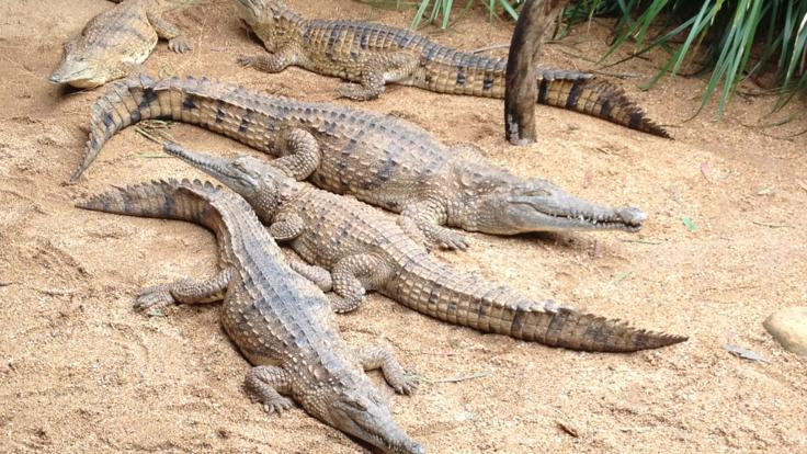 There are plenty of crocodiles at Kuranda Rainforestation Nature Park