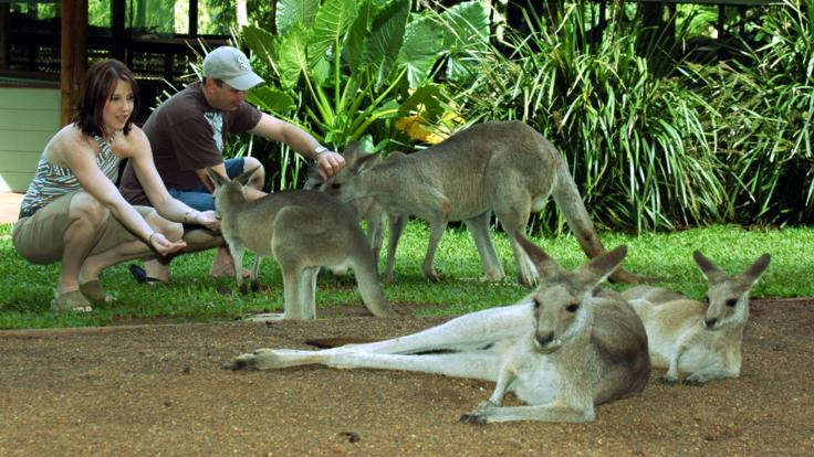 Feed the kangaroos in the rainforest nature park at Kuranda
