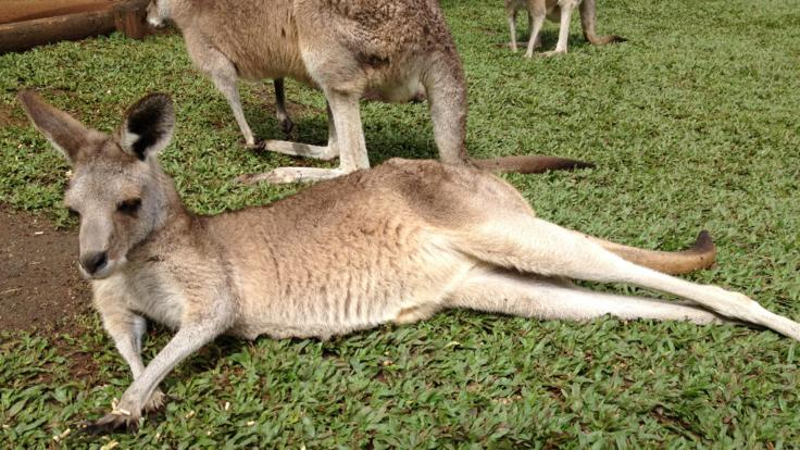 Kuranda Tours - Meet the kangaroos and wallabies at Rainforestation in Kuranda