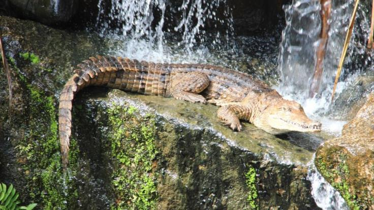 See the crocodiles in the Nature Park at Rainforestation