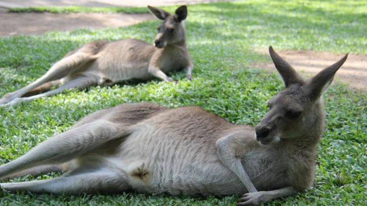 Say hello to a kangaroo at Rainforestation