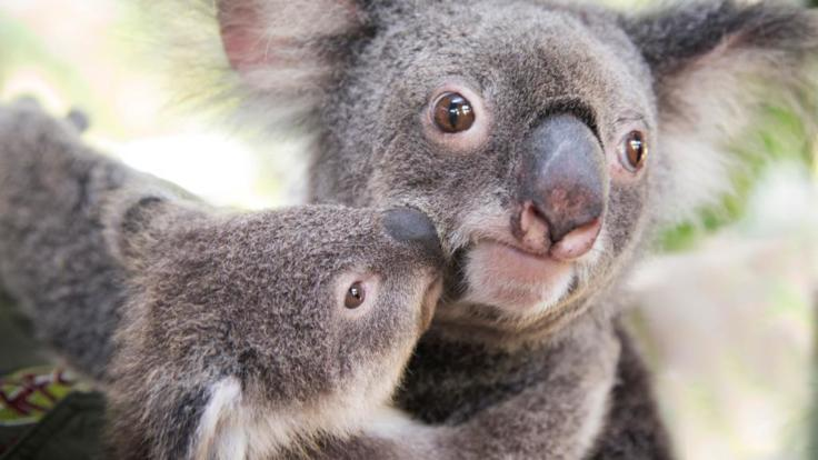 See the koalas at Kuranda Rainforestation animal park