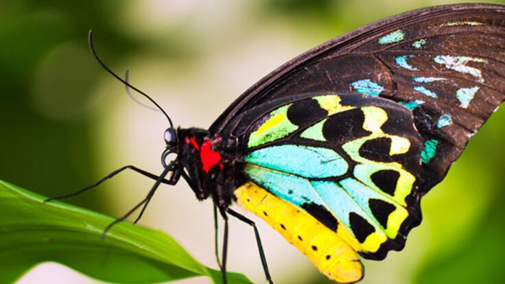Kuranda Tours - Butterfly Sanctuary - Cairns Birdwing Butterfly