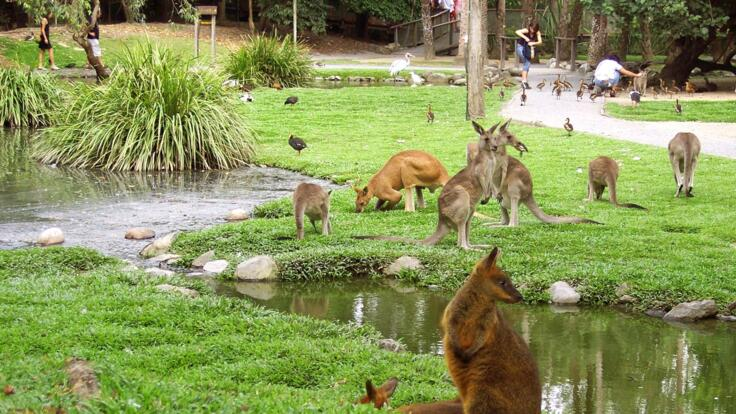 Kuranda Tours - Pet the Wallabies & Kangaroos at Rainforestation