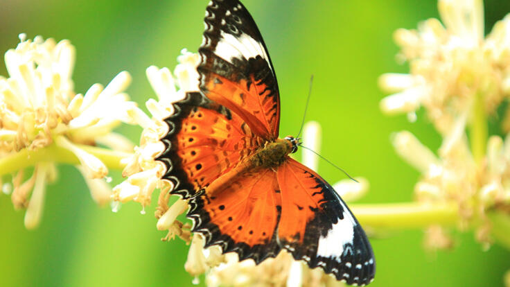 Kuranda Tours - Butterfly Sanctuary - Orange Lace Wing Butterfly