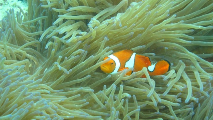 Nemo at Upolu Reef from Cairns