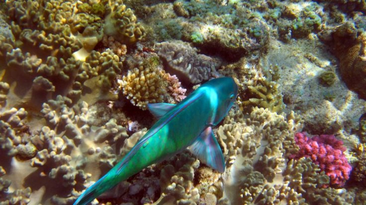 Parrot Fish at Upolu Reef from Cairns