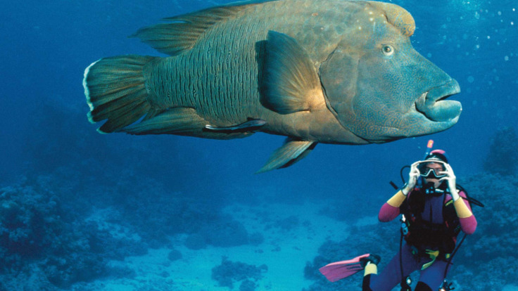 Wally the Famous Maori Wrasse fish on the Great Barrier Reef
